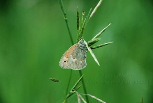 grass-moth1web
