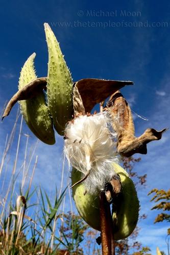 milkweed759-web