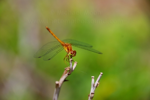 orange-dragonfly-web