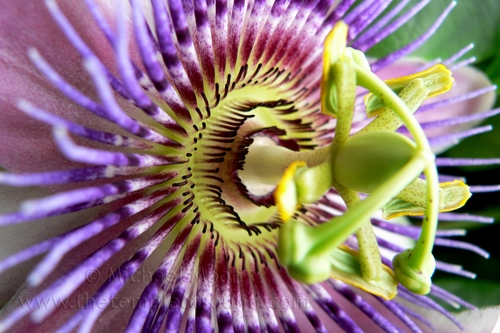 passionflower302web