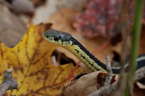 snake174web