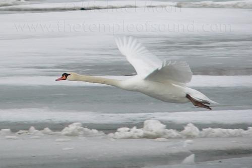 soaring-swan-web